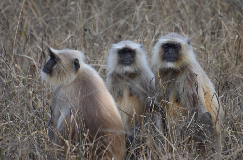 99Journeys Reise-Blog Reisetipps Reiseberichte Insider Tipps – Indien Rajasthan Ranthambore Bandhavargh Nationalpark